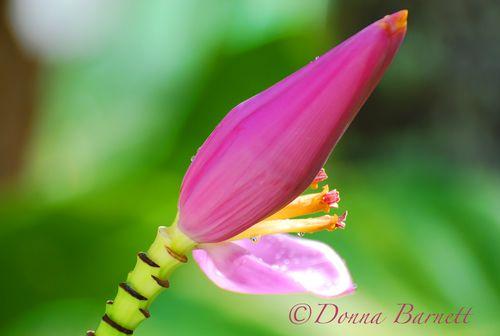 Flowerpinkkauai