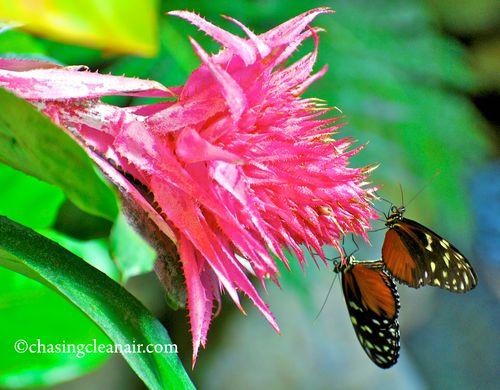 Butterflies in Love CR(4)