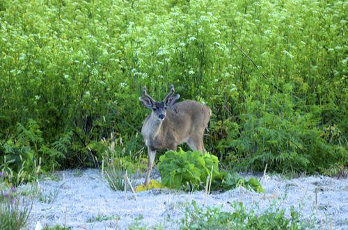 Deer in Tennessee Valley