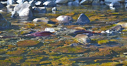 Salmon Spawning (3 of 10)