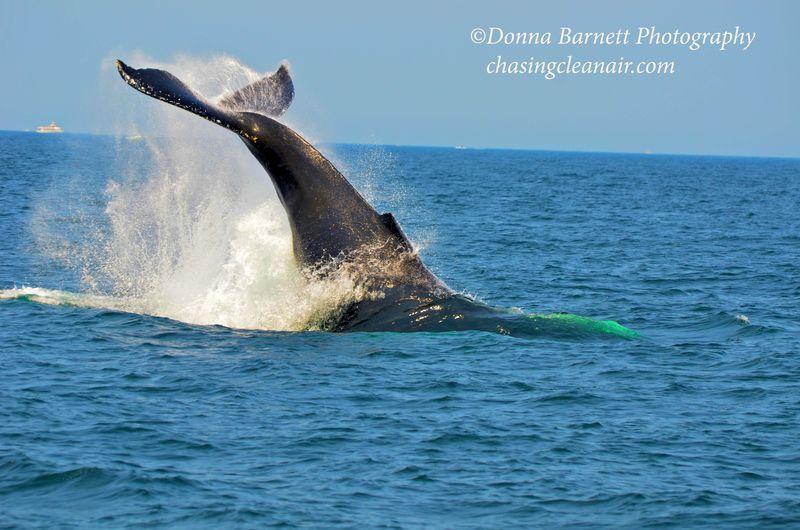Whale BreachingCR1