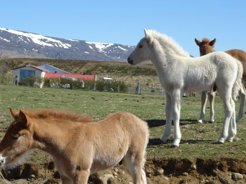 HorseIceland
