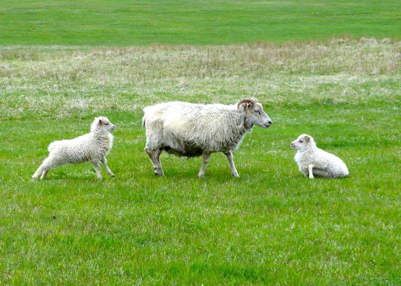Icelandic sheep (11 of 11)