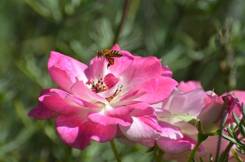 Bee on Pink Flower (4 of 6)