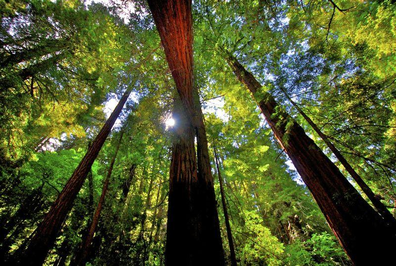 Muir Woods 8