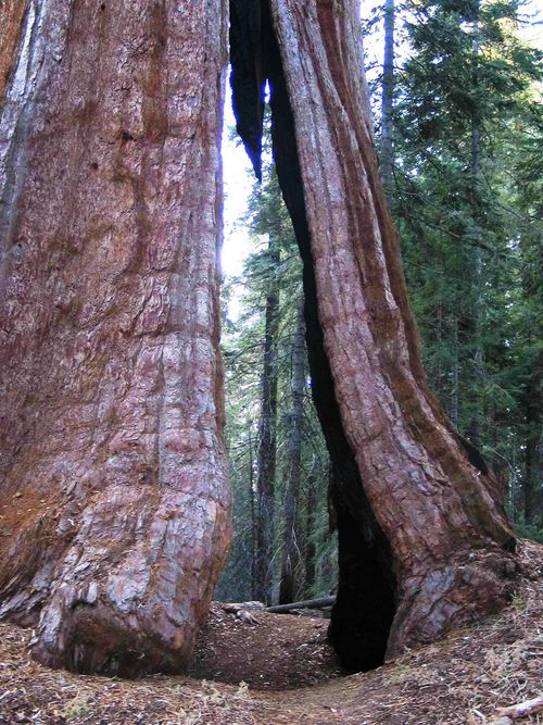 Trailthroughtree_sequoia