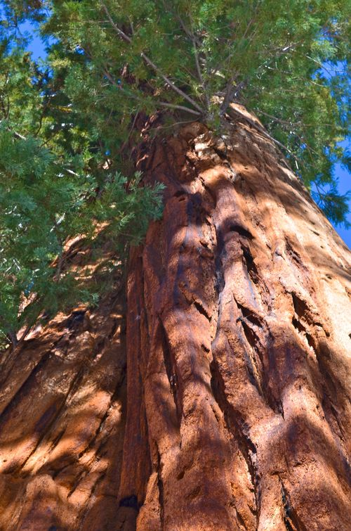 Sequoia in Giant Forest (5 of 9)