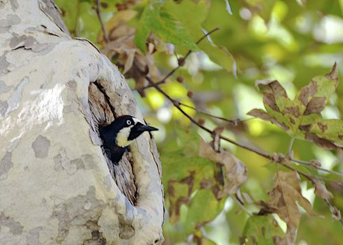 Woody Acorn Woodpecker at Home copy