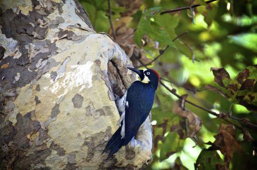 Woody (Acorn) Woodpecker low res
