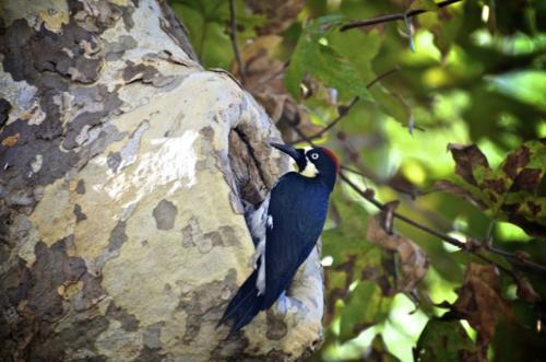 Bel Air Oak Tree and Woodpecker