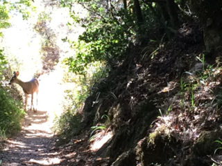Deer on Trail to West Point Inn, Mill Valley