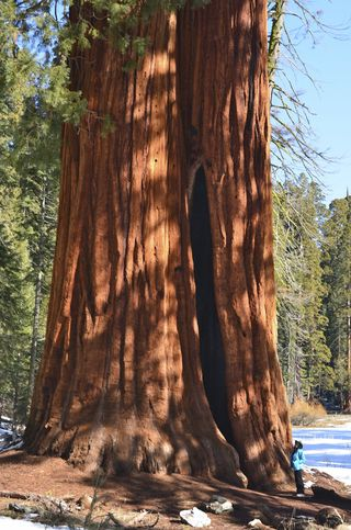 Sequoia in Giant Forest