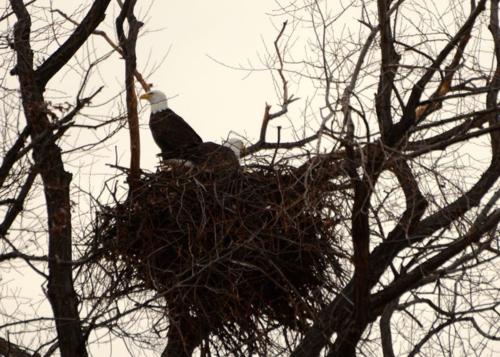 Bald Eagles and Nest, Klamath Falls Basin