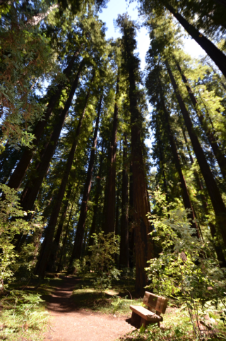 Redwoods in Big Hendy Grove