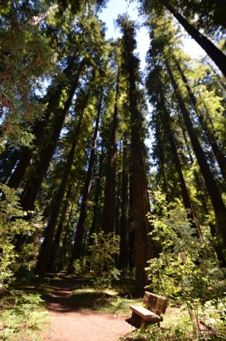 Redwoods in Big Hendy Grove