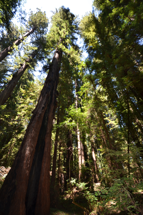 2000 year old Redwoods - tallest trees in the world