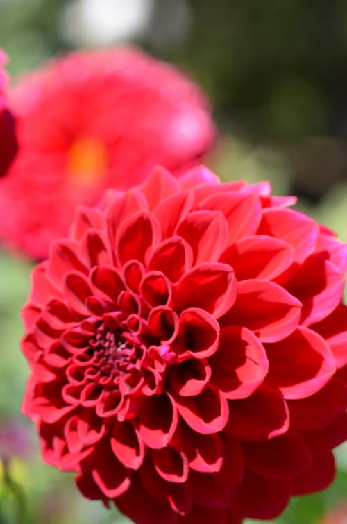 Blooming Dahlias at Mendocino Coast Botanical Garden