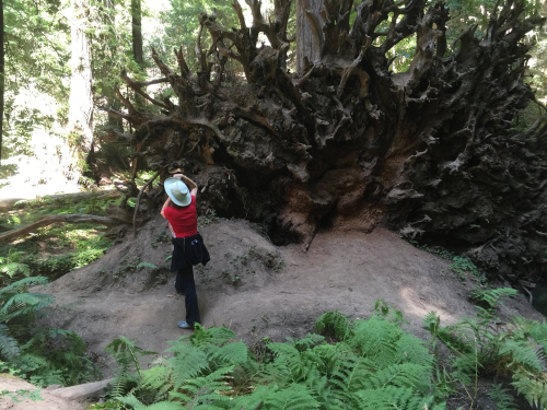 Donna Barnett Photographs Fallen Redwood Tree