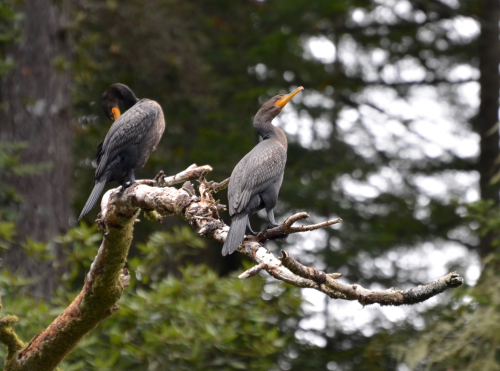 Double-crested cormorants at Big River