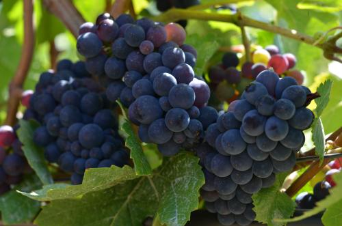 Pinot Noir Future