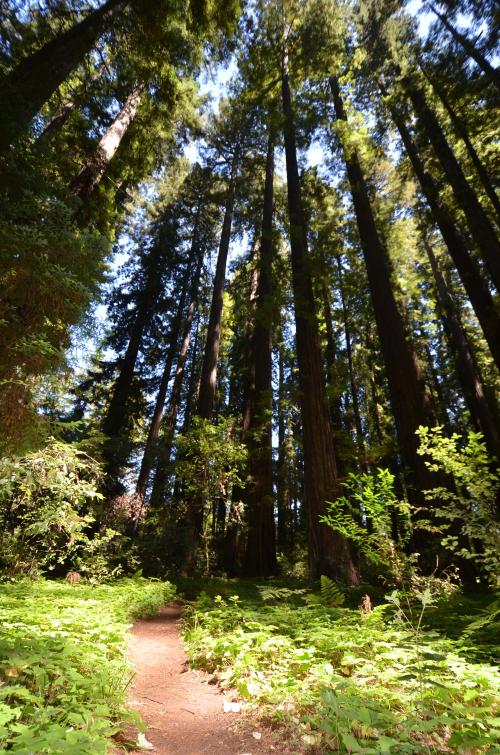 Sunlight spotlights path to Big Hendy Grove Redwoods
